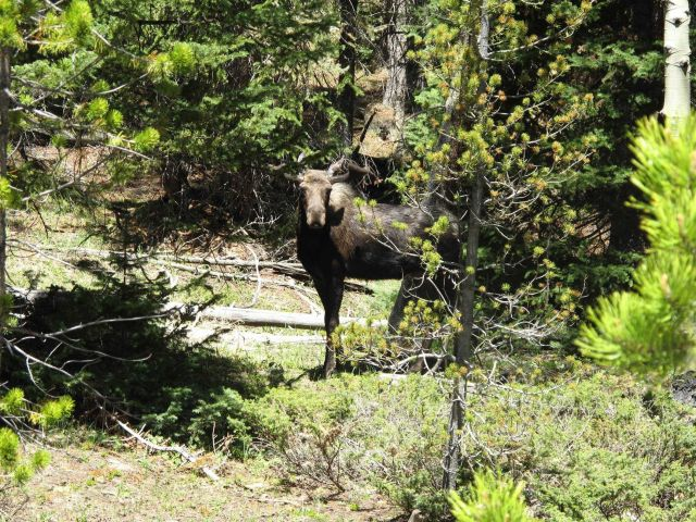A moose seen just off the highway on Cameron Pass on Colorado Highway 14. Picture