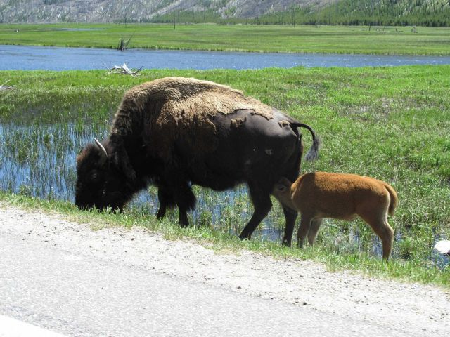 Bison seen at Yellowstone Picture