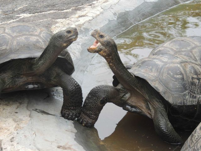 Giant Galapagos tortoises. Picture