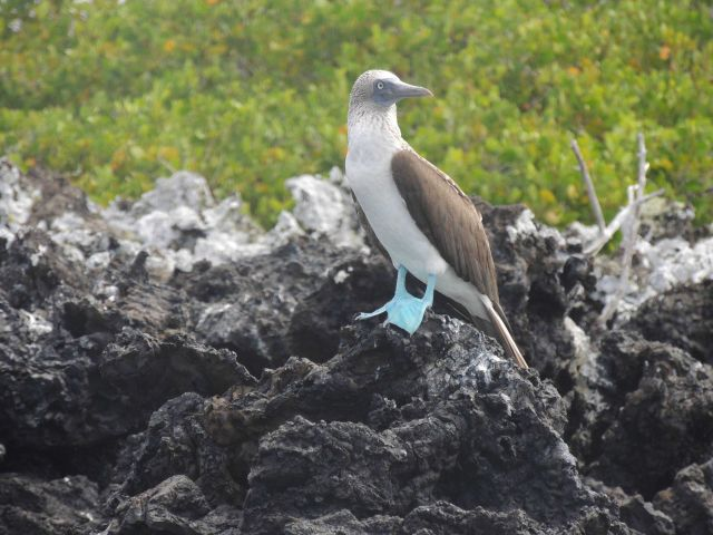 A blue-footed booby. Picture