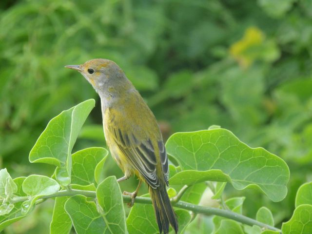 A yellow finch, a member of the group known as Darwin's finches. Picture