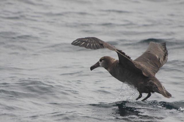 Black-footed albatross Picture