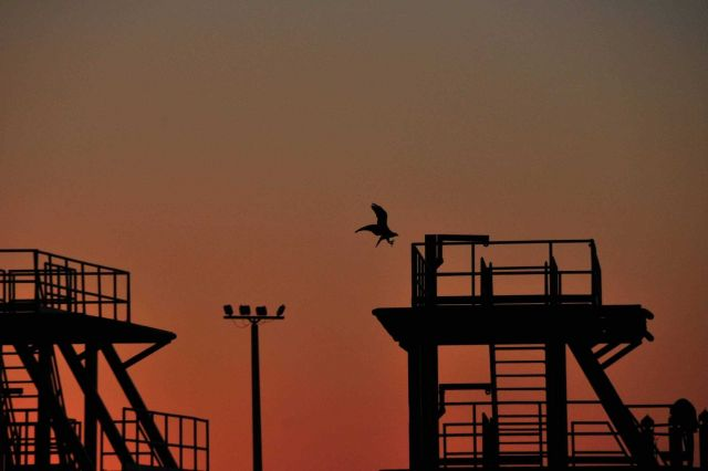 Osprey landing on platform at dusk. Picture
