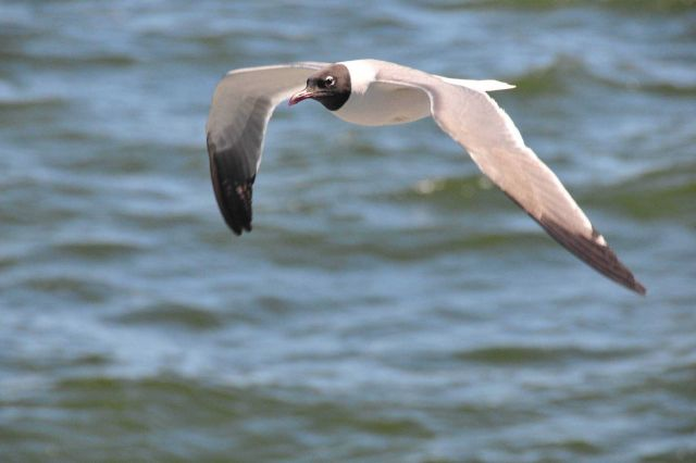 Laughing gull in flight. Picture