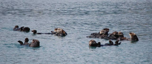 A group of sea otters together is known as a raft. Picture
