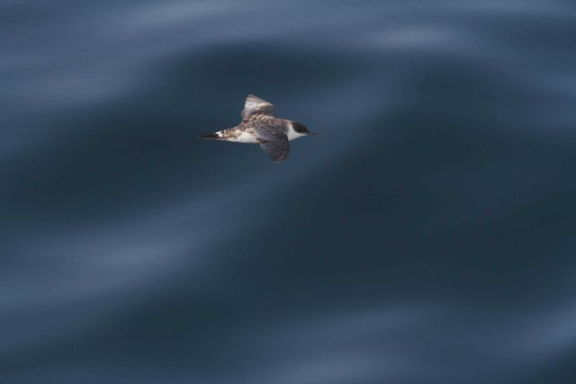 Great shearwater in flight. Picture