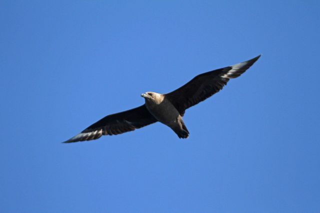 South polar skua Picture
