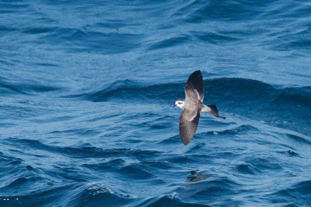 White-faced storm petrel Picture