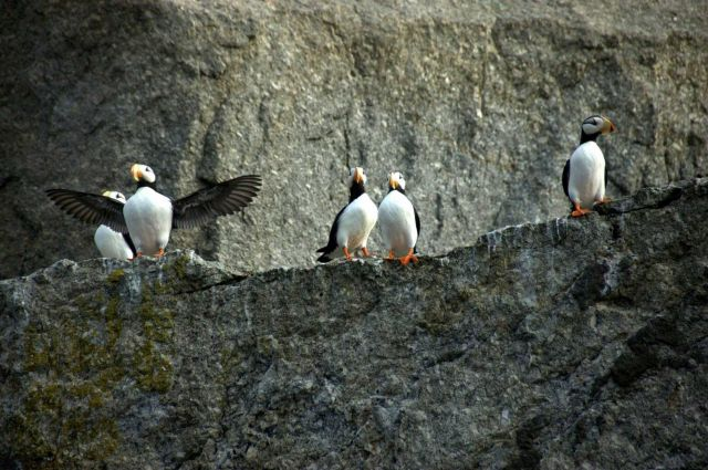 Puffins Picture