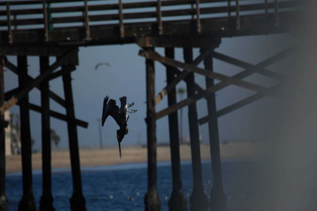 Pelican diving Picture