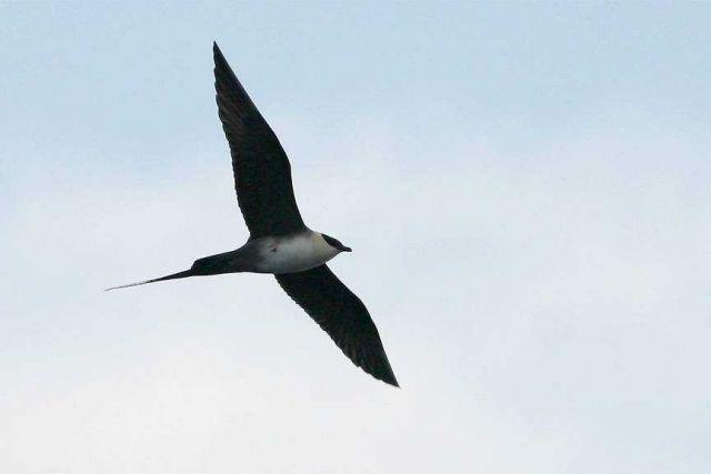 Marine bird in flight. Picture