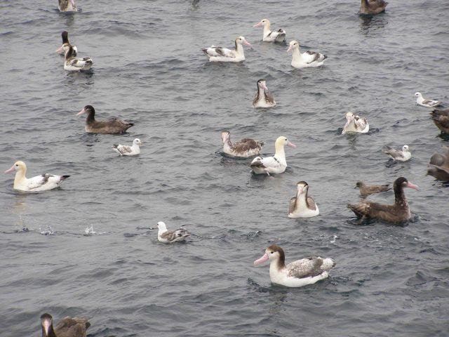 Albatross Picture