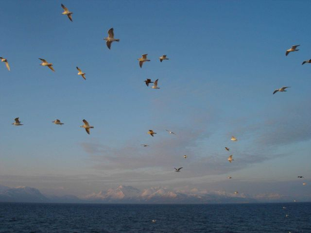 Gulls in formation flying off the Alaska Peninsula. Picture