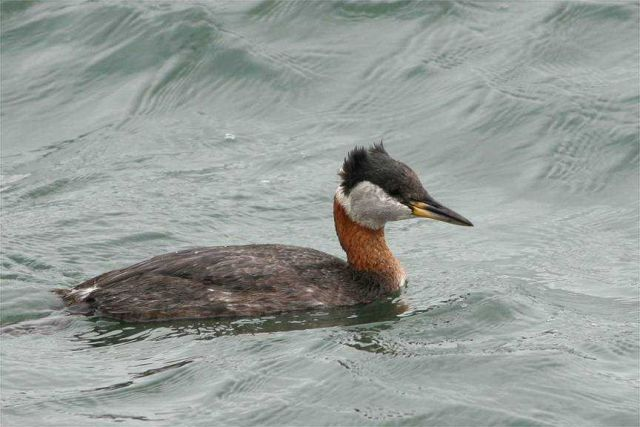 Horned grebe. Picture