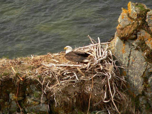 Bald eagle in nest. Picture