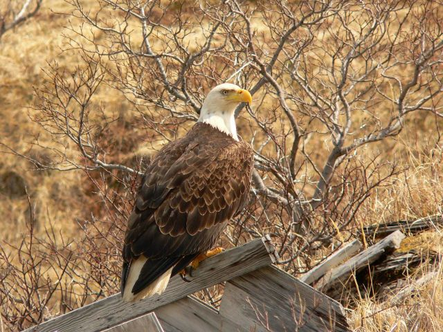Bald eagle. Picture