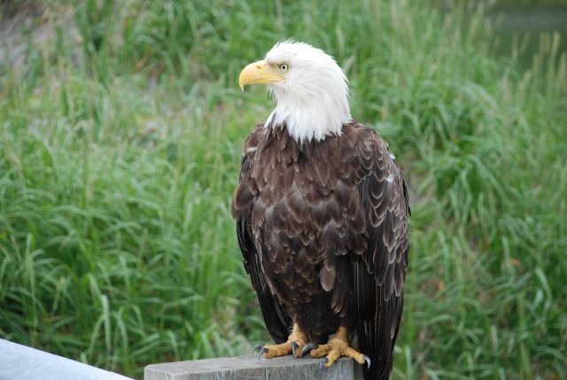 Bald eagle. Picture