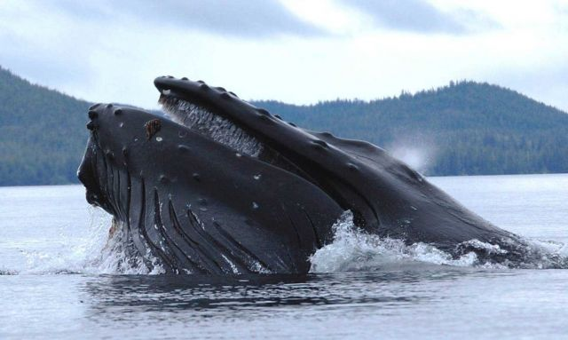 Humpback whale straining krill. Picture