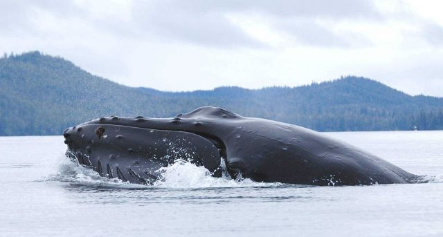 Head of humpback whale on the surface. Picture