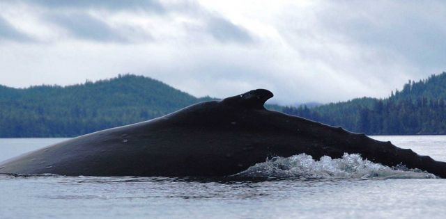 Humpback whale beginning to dive. Picture