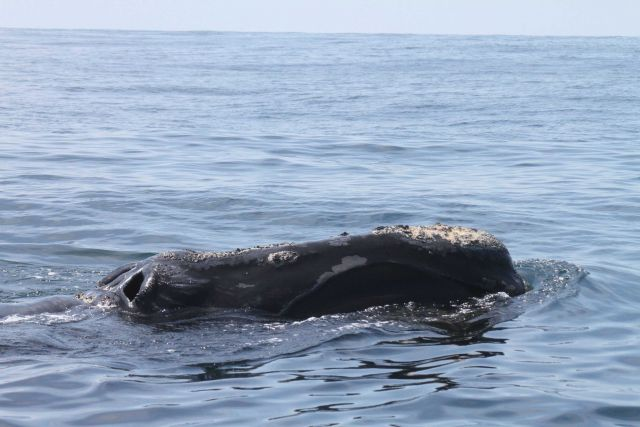 Northern right whale showing blow holes and callosities. Picture