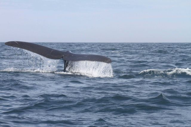 Northern right whale tail. Picture