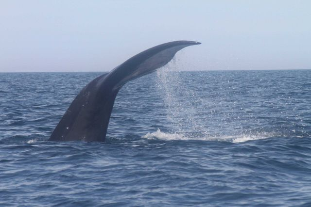 Northern right whale tail during dive. Picture