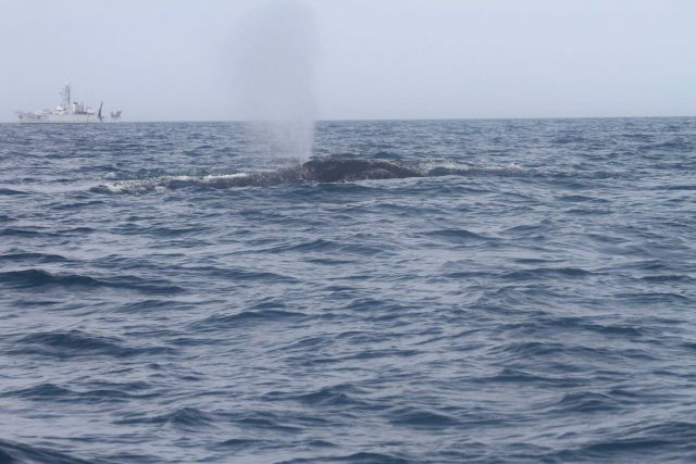 Northern right whale blowing with NOAA Ship OREGON II in background. Picture