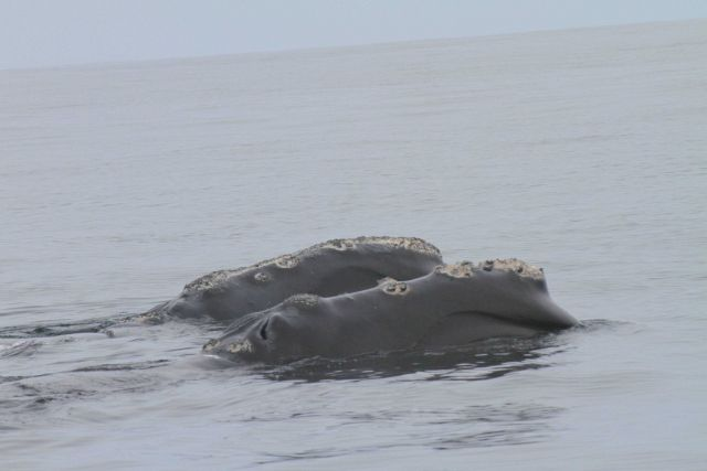 Two northern right whales close together Picture