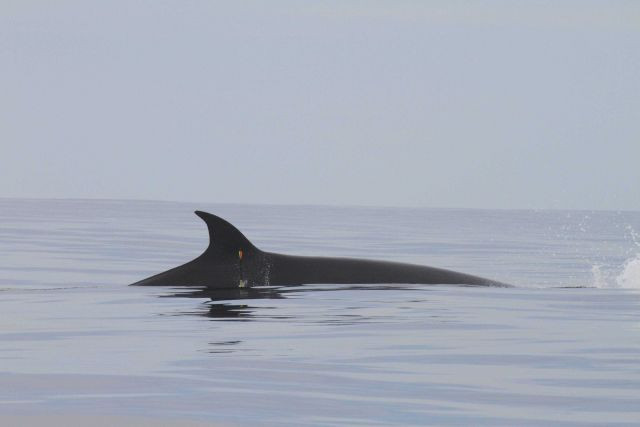 NOAA biologist targets sei whale for tissue sample. Picture