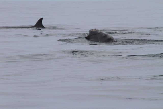 Sei whale with dorsal fin and right whale feeding in close proximity to each other. Picture