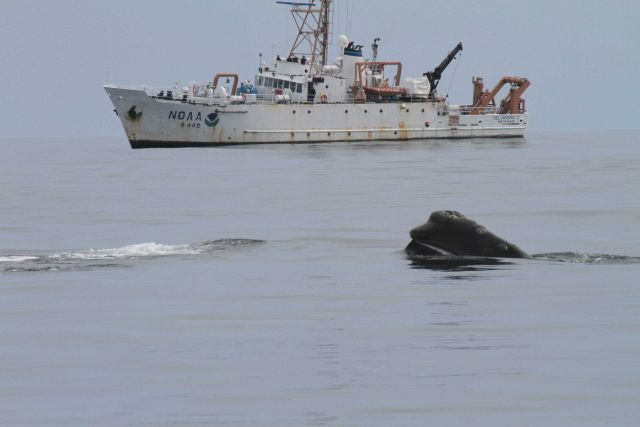 Head of northern right whale with NOAA Ship DELAWARE II in background. Picture