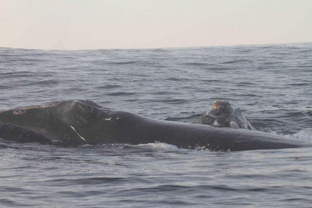 Mother and calf northern right whale. Picture