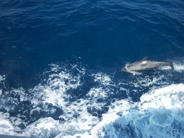 Atlantic spotted dolphin playing in the bow wave of the OREGON II. Picture
