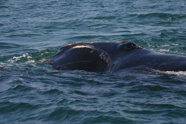 North Atlantic right whale Picture