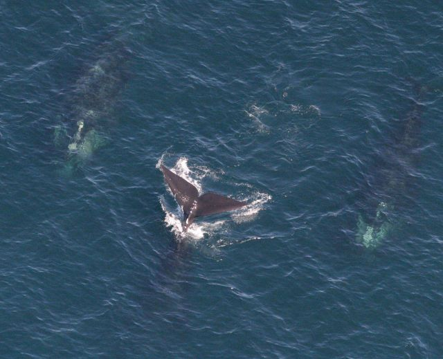 Three North Atlantic right whales Picture