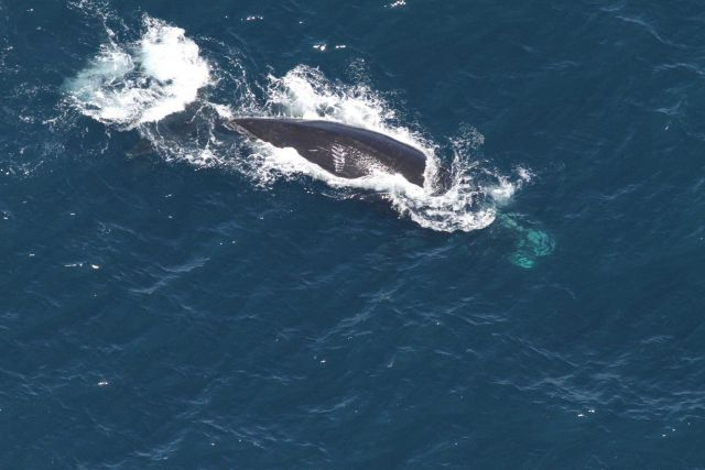 The North Atlantic right whale Arpeggio, taken from a different angle. Picture