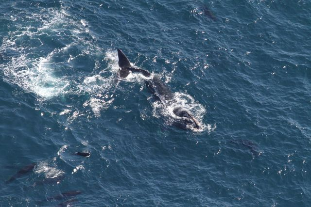 North Atlantic right whale amidst pilot whales Picture