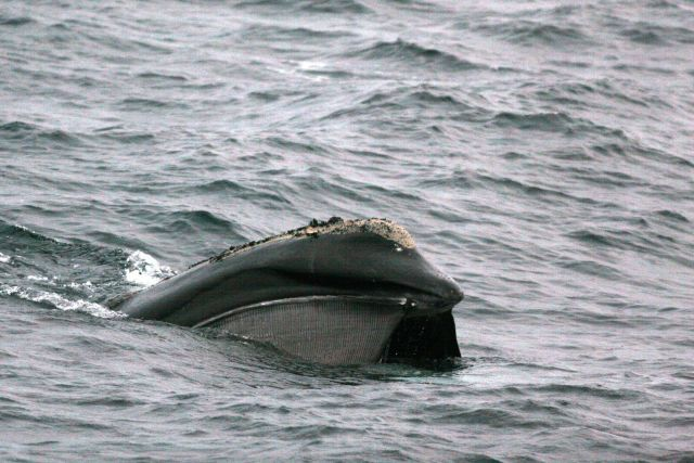 Right whale feeding Picture