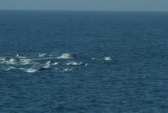 Pod of dolphin Picture