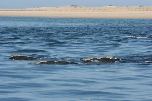 Right whales off Race Point Picture