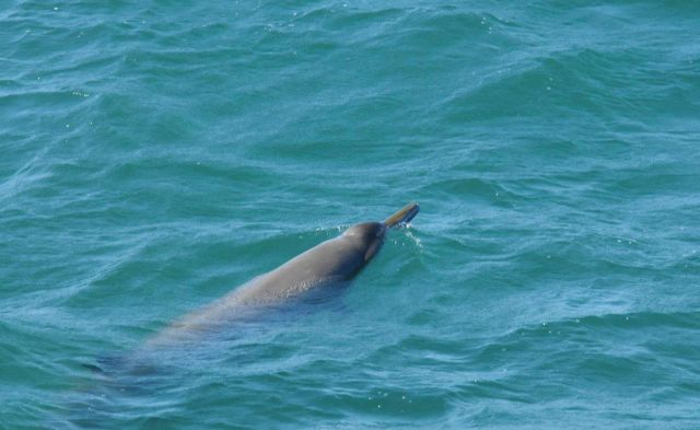 Sowerby beaked whale. Picture