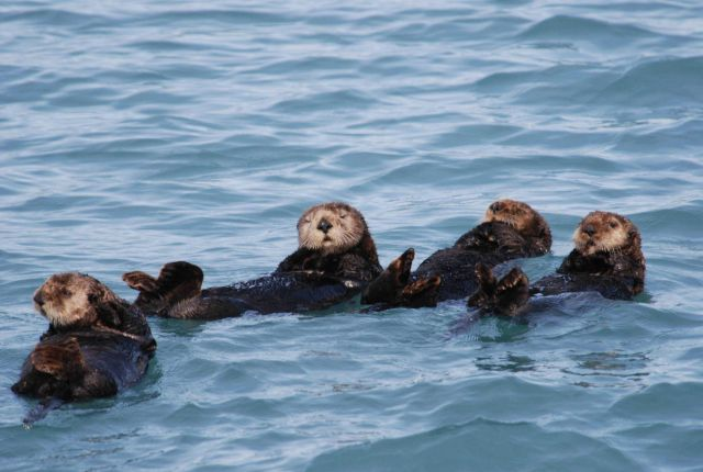 Sea otter Picture