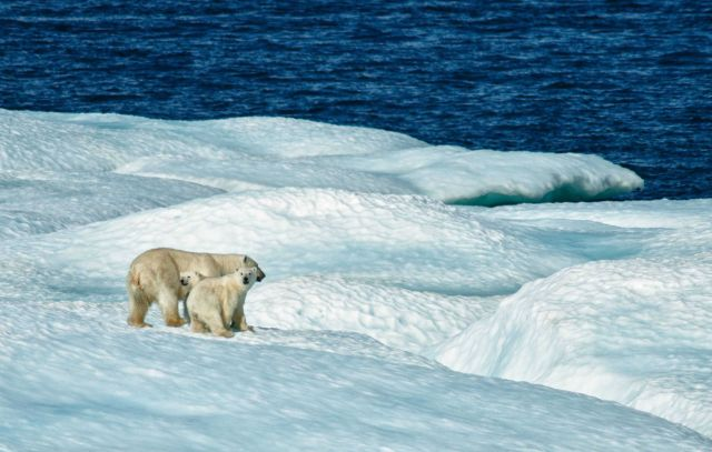 Mother polar bear and cub on ice floe. Picture