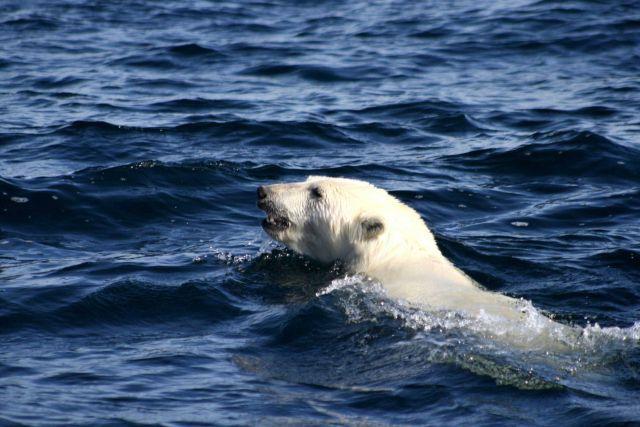 Polar bear swimming. Picture