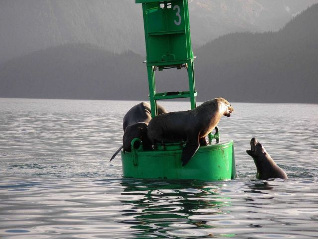 Sea lion king-of-the-hill as played out on buoy. Picture