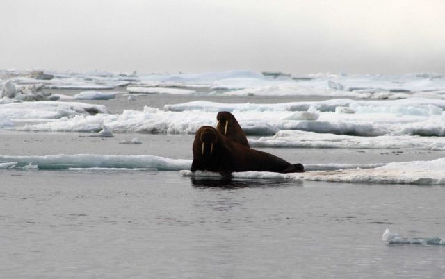 Two walrus on a small ice floe. Picture
