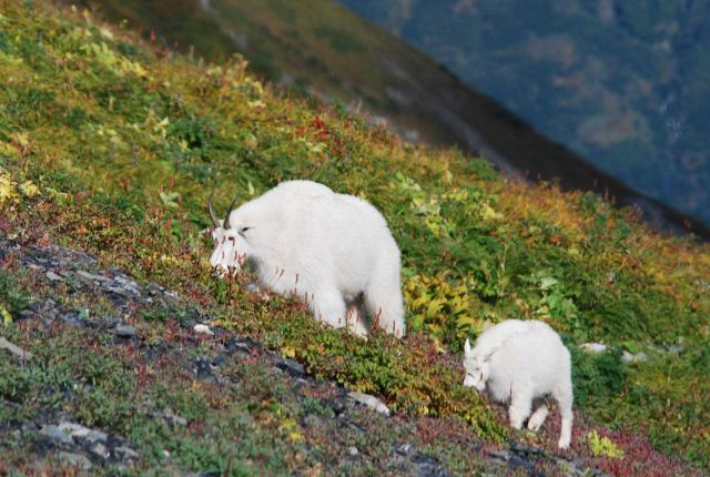 Mountain goats. Picture