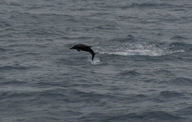 Leaping dolphin. Picture