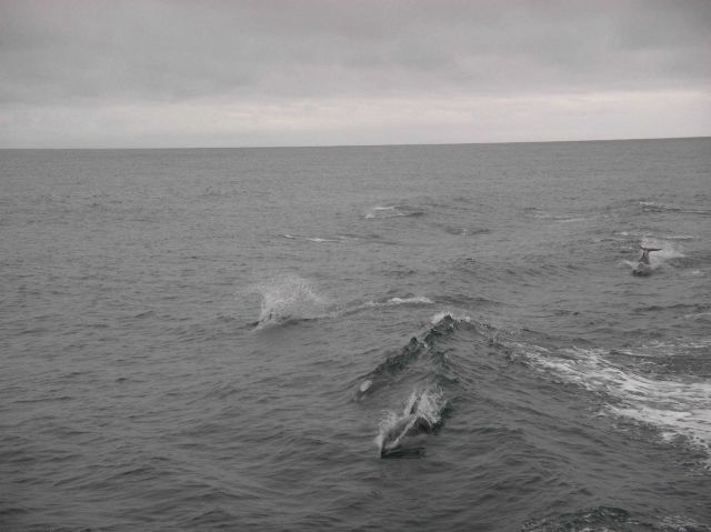 Dolphins approaching the ship to ride in the bow wave. Picture